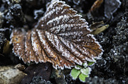 Steve Purnell - Frosty Leaf