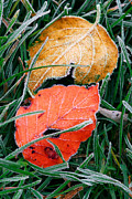 Fallen Leaf Posters - Frosty leaves Poster by Elena Elisseeva