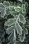 Crystals Photos - Frosty leaves macro by Elena Elisseeva