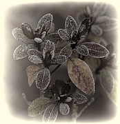Ron Roberts Photography Framed Prints Posters - Frosty Leaves Poster by Ron Roberts