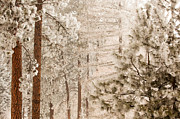 Kitty Cat Prints - Frosty Pines Print by Paul Bartoszek