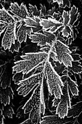 Frost Photo Prints - Frosty plants  Print by Elena Elisseeva