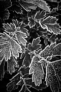 Crystals Photos - Frosty plants in fall by Elena Elisseeva