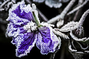 Leaf Change Photos - Frosty purple flower in late fall by Elena Elisseeva