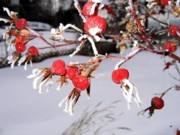 Frost Photos - Frosty Rosehips by Will Borden