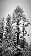 Snowed Trees Art - Frozen Beauty by Betty Depee