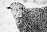 Sheep Framed Prints - Frozen Dinner Framed Print by Mike  Dawson