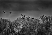 Canadian Geese Prints - Frozen Flight Print by Thomas Young