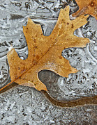 Cory Photography Photos - Frozen Leaf #1 by Tom and Pat Cory