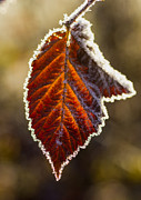 Ron Roberts Photography Posters - Frozen leaf Poster by Ron Roberts