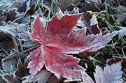 Another Time Framed Prints - Frozen Maple Leaf 2 Framed Print by Aaron Spong