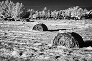 Feeds Prints - frozen snow covered hay bales in a field Forget Saskatchewan Canada Print by Joe Fox