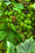Grapevine Leaf Photo Prints - Fruit Bearing Print by Heidi Smith