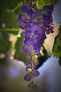 Purple Grapes Framed Prints - Fruit of the Vine Framed Print by Donna Kennedy