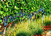 Windy Point Winery Photo Prints - Fruit of the Vine Print by Kay Gilley