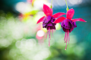 India Blue photos - Fuchsia Bokeh