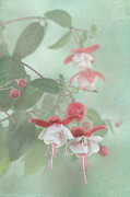 Fuchsia Photos - Fuchsia Dreams by Angie Vogel