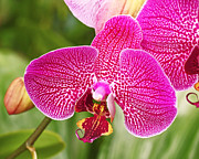 Orchid Artwork Prints - Fuchsia Moth Orchid Print by Rona Black
