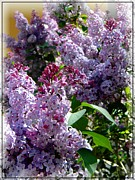 Frizzell Posters - Full bloom Lilacs Poster by Michelle Frizzell-Thompson