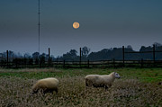 Sheep Digital Art Posters - Full Moon at Erdenheim Farm Poster by Bill Cannon