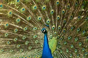 Adam Jewell - Full Peacock Mane