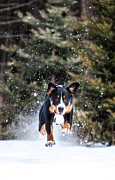 Greater Swiss Mountain Dog Prints - Full Steam Print by Aaron Aldrich