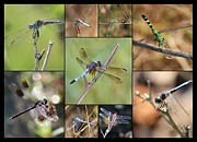 Dragonfly Eyes Posters - Fun Dragonfly Collage Poster by Carol Groenen
