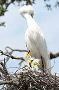 Great Birds Prints - Fun Great Egret Family Print by Carol Groenen
