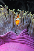 Hiding Metal Prints - Fun Tropical Clownfish Nemo Image Bright And Colorful Home Or Office Decor Metal Print by Brandon Cole