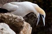 Australian Open Metal Prints - Funny Australasian Gannet with beak wide open Metal Print by Stephan Pietzko