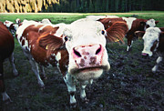Cow Humorous Photos - Funny cow by JR Photography