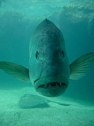 Looking Metal Prints - Funny Fish Face Metal Print by Amy Cicconi