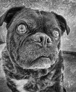 Puppy Metal Prints - Funny Pug Metal Print by Larry Marshall