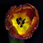Petals With Droplets Posters - Furnace in a Tulip 2 Poster by Kaye Menner