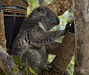 Koala Posters - Furry Little Fellow Poster by Craig Carter
