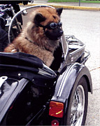 Dog In Lake Posters - Furry Sidecar Rider  Poster by Jane Butera Borgardt