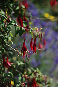Fuschia Photo Prints - Fuschia Print by Carol  Eliassen