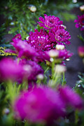 Fuschia Photo Prints - Fuschia Mums 1 Print by Jessica Velasco