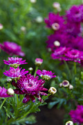 Fuschia Photo Prints - Fuschia Mums 2  Print by Jessica Velasco