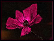 Gina  Art Photography - Fuschia Rose