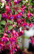 Fuschia Photo Prints - Fuschia Spilling Over  Print by Heather Applegate