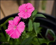 Obryant Photos - Fuscia Dianthus Flower by Tyra  OBryant