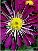 Fushia Prints - Fushia Daisies Blooming Print by Danielle  Parent