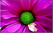 Fushia Photos - Fushia Daisy  by Danielle  Parent