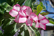 Fushia Photo Prints - Fushia Oleander near Phoenx Arizona 2 Print by Douglas Barnett