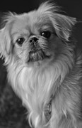 Pekingese Framed Prints - Fuzzface Framed Print by Kristi Swift
