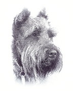 Schnauzer Art Photos - Fuzzy Beard by Mickey Harkins