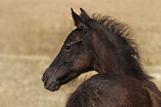 Forelock Photos - Fuzzy Colt D6443 by Wes and Dotty Weber