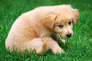 Cute Dog Digital Art - Fuzzy Golden Puppy by Christina Rollo