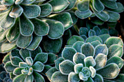 Succulents Posters - Fuzzy Succulent Leaves Poster by Nancy Mueller